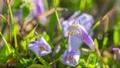 花開き立ち上がるムラサキサギゴケ タイムラプス 76235500