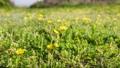 野原に群生するタンポポの開花 タイムラプス 76235501