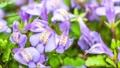 花開き立ち上がるムラサキサギゴケ タイムラプス 76235502