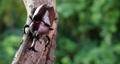 ドリー撮影で赤茶色のカブトムシを撮影した動画。 76239154