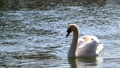 Super slow motion of Beautiful white swan wagging the tail 76268397