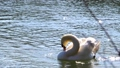 Super slow motion of Beautiful white swan shaking his head 76268398