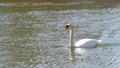 Beautiful white swan swimming in river and sun reflecting in water 76269635