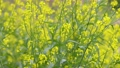 風に揺れる菜の花と花の蜜を吸う蜂 76272407