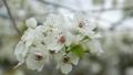 梨花盛開在春天的梨田 76276818