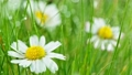 Chamomile flower ( bellis perennis ) with drops of water on the green background. 76292347