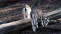 Bharal or Himalayan blue sheep or naur (Pseudois nayaur) 76298679