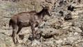 The Himalayan tahr (Hemitragus jemlahicus) on a rock 76298680