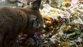 Eurasian Lynx eats prey in autumn leaves 76298681