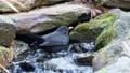 Blackbird taking a bath with splashing water. Common blackbird (Turdus merula) bathing in garden lake 76298682