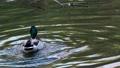 Mallard duck on a pond waving its wings. 76298683