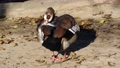 Adult Egyptian Goose, Alopochen aegyptiacus cleans its feathers 76298684