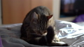 The cat licks while sitting on the bed. A cat of British breed licks its hair. Slow Motion. 76305504