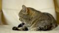 British cat falls asleep on an armchair. Slow motion 76305506