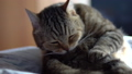 The cat licks while sitting on the bed. A cat of British breed licks its hair. Slow Motion. 76305525
