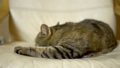 The cat of the British breed woke up sharply and looks. Slow motion 76305531