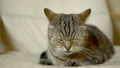 A cat of British breed licks its face with its tongue. Slow motion 76305533