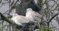 Collared Doves, Streptopelia decaocto, together perched on tree in cold winter. Collared Doves birds in love as valentine love symbol. 76319787