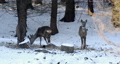 european roe deer (Capreolus capreolus) on feeder in forest with small birds yellowhammers on winter. Czech Republic, europe wildlife 76319788