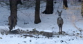 european roe deer (Capreolus capreolus) on feeder in forest with small birds yellowhammers on winter. Czech Republic, europe wildlife 76319789