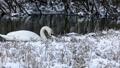 Wild bird mute swan (Cygnus olor) feeding in winter on pond on snowy landscape, Czech Republic Europe wildlife 76319791