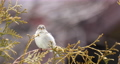 female of small beautiful bird house sparrow, Passer domesticus, bird sitting on the tree branch in winter garden 76319793