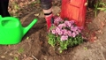 Women hands water a freshly planted flower bush from a watering can. 76333249
