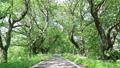 新綠色櫻花樹 76346547