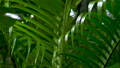 Wet green leaf palm tree with water drops after rain 76355160