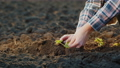 Farmer's hands carefully plant strawberry seedlings 76363269