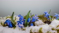 Blue snowdrop and snow melts in spring 76366632