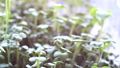 Watercress salad microgreens grown in a tray on a home windowsill. Slow motion, close up. The concept of healthy eating,vegan concept. Home gardening 76378772