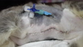 Postoperative wounds with a catheter in a young kitten. 76383946