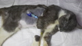 Postoperative wounds with a catheter in a young kitten. 76383948