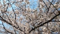 満開の桜 スローモーション 76386722