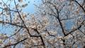 満開の桜 スローモーション 76386723