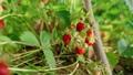 Woman farmer's hands picking organic strawberries. Harvesting fresh organic strawberries. Strawberry bushes close-up 76407656
