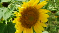 close up of sunflower butterfly with honey bees 76418021