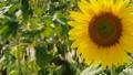 peaceful natureal field of sunflower  76418022