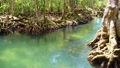 Tropical trees roots in swamp forest and crystal clear water stream canal at Tha Pom Klong Song Nam mangrove wetland Krabi Thailand Beautiful nature view 76423424