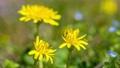 タンポポの開花 タイムラプス 76435623