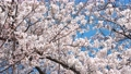 벚꽃 왕 벚나무 76458866