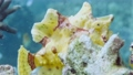 A yellow frogfish or anglerfish is floating underwater 76497124