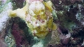 A yellow frogfish or anglerfish is floating underwater 76497126
