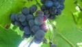Organic Dark Purple Grape Fruit of Deciduous Woody Vines 76498849