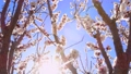 Awakening of nature. Spring flowers. Beautiful Orchard. Springtime. White flower, flowering in the garden of trees, blooming. 76506674