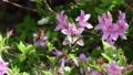 ツツジの花に止まる蝶々 76508344