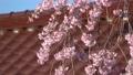 妙関寺의 용녀 벚꽃 (후쿠시마 현 시라카와시) 76510919