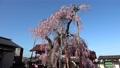 妙関寺의 용녀 벚꽃 (후쿠시마 현 시라카와시) 76510921