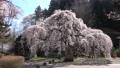 大隣寺 수양 벚나무 (후쿠시마 현 니혼 마쓰시) 76511177